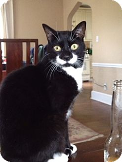 Domestic Shorthair Cat for adoption in Bedford Hills, New York - Oliver