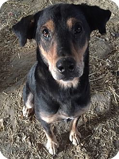 Shepherd (Unknown Type) Mix Dog for adoption in PLAINFIELD, Indiana - Justice