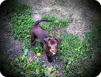 Labrador Retriever Mix Dog for adoption in Westminster, Maryland - Cupid