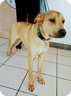Labrador Retriever Mix Puppy for adoption in San Diego, California - Yellow
