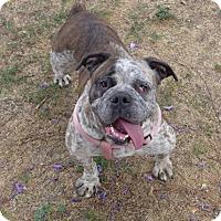 Adopt A Pet :: Chica - Santa Ana, CA