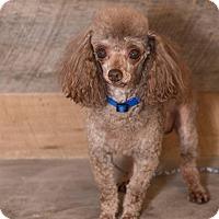 Adopt A Pet :: CHARLIE BROWN - Elk River, MN