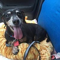 Dachshund Dog for adoption in Dallas, Texas - Mollie (Doxie)