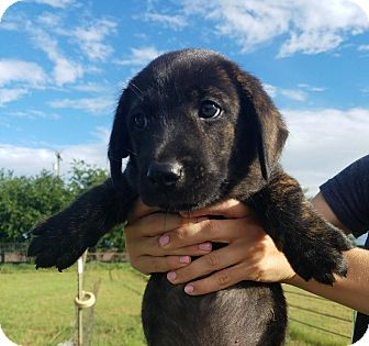 Labrador Retriever Mix Puppy for adoption in Vancouver, British Columbia - Chandler Bing