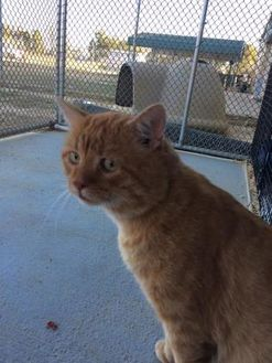 Domestic Shorthair/Domestic Shorthair Mix Cat for adoption in Savannah, Tennessee - Garfield