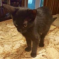 Adopt A Pet :: Dominic - Arlington/Ft Worth, TX