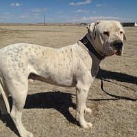 Adopt A Pet :: Bodhi - Yoder, CO