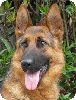 German Shepherd Dog Dog for adoption in Los Angeles, California - Rommel von Rosenthal