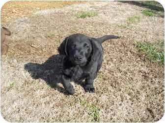 Basset Hound/Labrador Retriever Mix Puppy for adoption in Adamsville, Tennessee - Pudge
