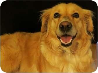 Golden Retriever/Sheltie, Shetland Sheepdog Mix Dog for adoption in Plainfield, Illinois - Diamond