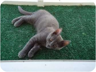 Domestic Shorthair Kitten for adoption in Riverside, Rhode Island - Grady - Glynda's son
