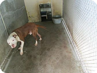 Pit Bull Terrier Mix Dog for adoption in Henderson, North Carolina - Luke