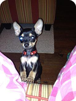 Chihuahua Puppy for adoption in Dallas, Texas - Bella