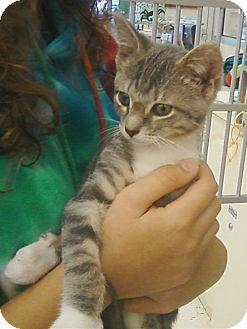 Domestic Shorthair Kitten for adoption in Riverhead, New York - Boo Boo