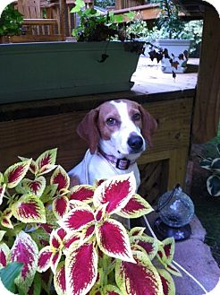 Hound (Unknown Type) Dog for adoption in Chesterfield, Virginia - Mona
