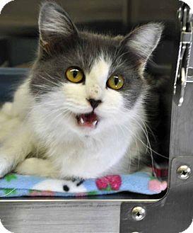 Domestic Mediumhair Cat for adoption in Corpus Christi, Texas - Tilly