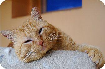 Domestic Shorthair Cat for adoption in Medford, Massachusetts - Roy