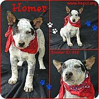 Adopt A Pet :: Homer - Plano, TX