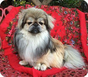 Pekingese Dog for adoption in Irvine, California - Bonzai