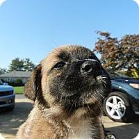Adopt A Pet :: Kona - South Jersey, NJ