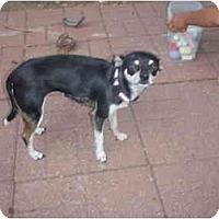 Adopt A Pet :: Gracie - Arlington, TX