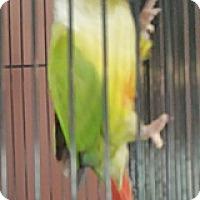 Adopt A Pet :: Samson - Lenexa, KS