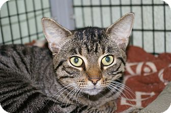 Domestic Shorthair Cat for adoption in Brooksville, Florida - Porter