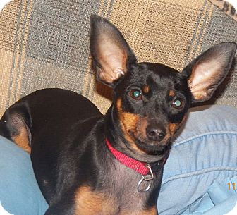 Miniature Pinscher Dog for adoption in Mary Esther, Florida - Minnie