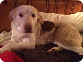 Australian Shepherd/Border Collie Mix Dog for adoption in Fishkill, New York - Bailey