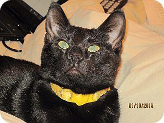 Domestic Shorthair Kitten for adoption in Smithfield, North Carolina - Pearl