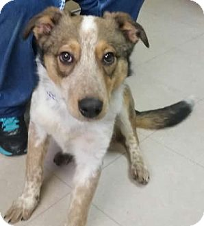 Collie/Blue Heeler Mix Puppy for adoption in Avon, New York - Clyde