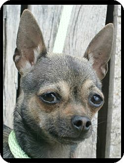 Chihuahua Dog for adoption in Estancia, New Mexico - Tarka