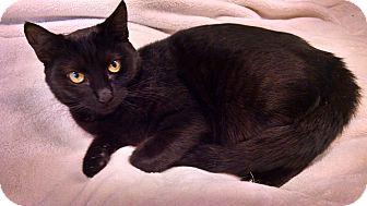 Domestic Shorthair Cat for adoption in Centralia, Washington - Button