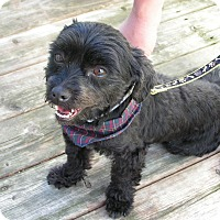 Adopt A Pet :: Bouboule - Rigaud, QC