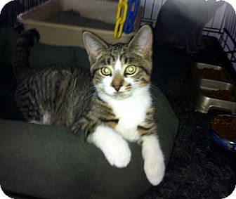 Domestic Shorthair Kitten for adoption in Lombard, Illinois - Willow