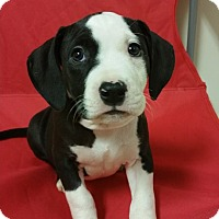 Adopt A Pet :: Kali *PENDING* - Lima, OH