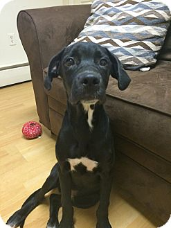 Labrador Retriever Mix Puppy for adoption in East Hartford, Connecticut - Anthony in CT