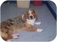 Basset Hound/Australian Shepherd Mix Dog for adoption in New Carlisle, Indiana - Austin