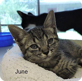 Domestic Shorthair Kitten for adoption in Slidell, Louisiana - June