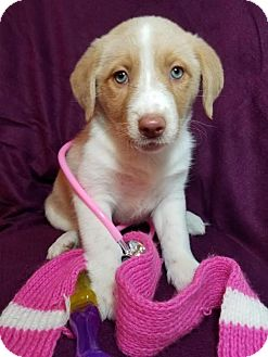 Labrador Retriever/Border Collie Mix Puppy for adoption in Newark, Delaware - Princess
