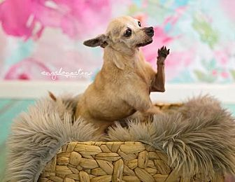 Chihuahua Dog for adoption in Burlington, North Carolina - Judy