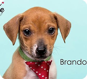 Jack Russell Terrier/Beagle Mix Puppy for adoption in Cincinnati, Ohio - Brando