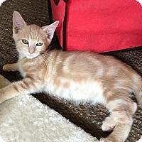 Adopt A Pet :: Gibson - Tampa, FL