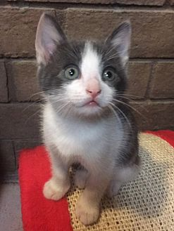 Calico Kitten for adoption in Phoenix, Arizona - Peppermint