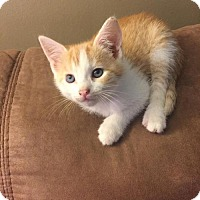 Adopt A Pet :: .Toasted Almond - Baltimore, MD