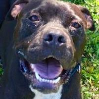 Adopt A Pet :: Koda - Lihue, HI