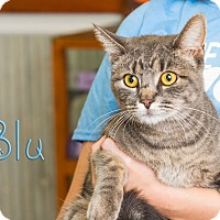 Adopt A Pet :: Blu - Somerset, PA