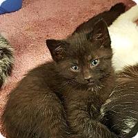 Domestic Shorthair Kitten for adoption in Lagrange, Indiana - Icon