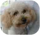 Bichon Frise Mix Puppy for adoption in La Costa, California - Luke & Logan