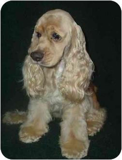 Cocker Spaniel Dog for adoption in Sugarland, Texas - Rocky